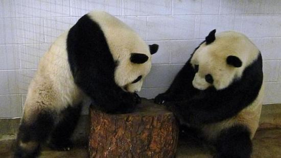 澳洲动物园大熊猫自然交配又失败