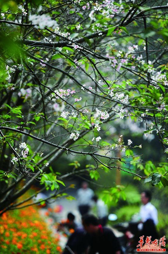 省植物园樱花与桂花争相斗艳