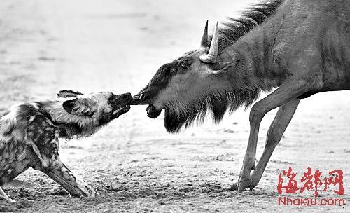 南非一野生动物园内的野狗们最近向一头体型足有自己两倍大的角马发动
