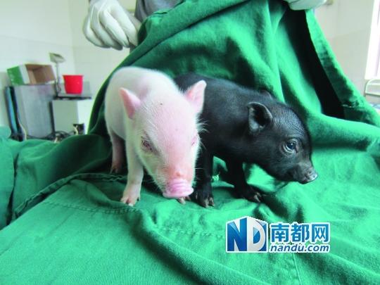 刚出生的猪宝宝,白色小猪患上了白化病,黑色为健康小猪.