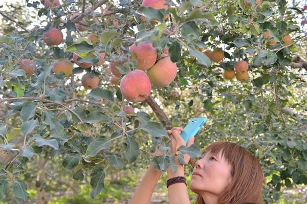 阿克苏的苹果怎么