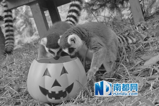 可爱的小动物玩起万圣节南瓜. 资料图片