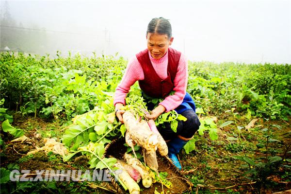 图为萝卜种植户在拔萝卜。李玥 摄