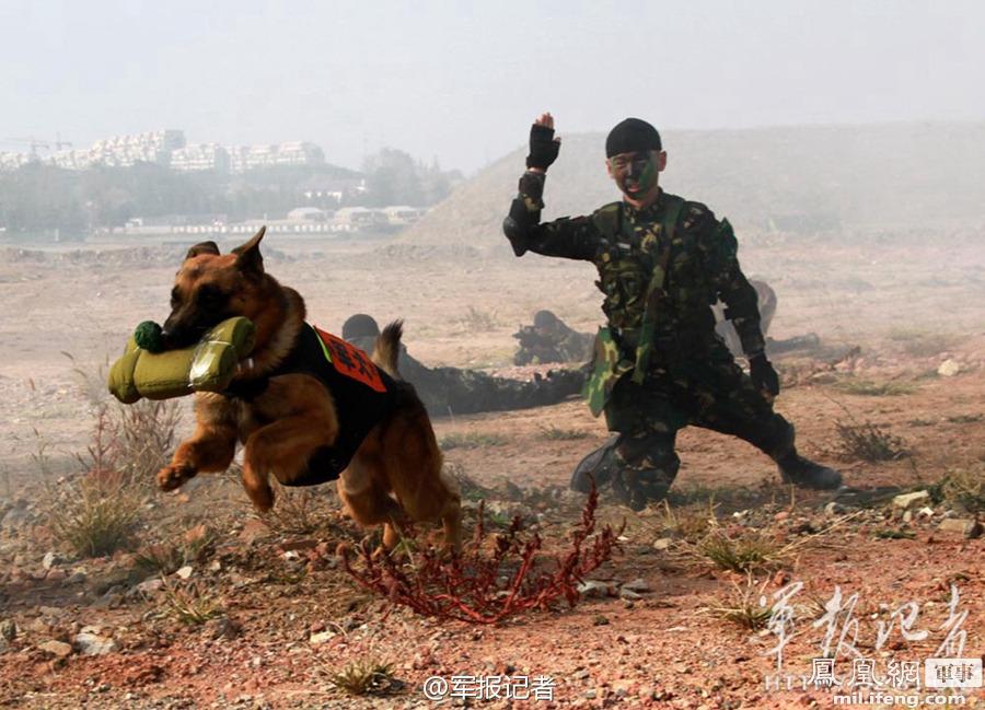 解放军特种部队训练军犬炸碉堡,十余名学员经历7个月严格淘汰,先