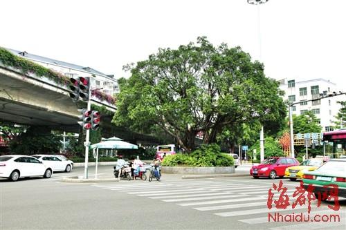 福州部分安全岛计划植榕树