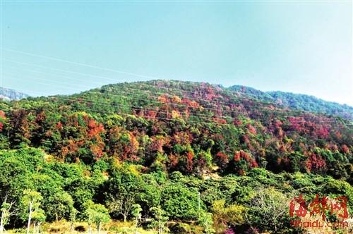 昨日,记者来到仙游城关的大蜚山省级森林公园,饱览了大蜚山万株枫树林