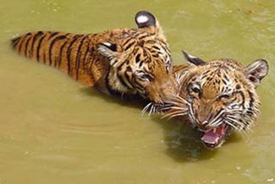 资料图 两只老虎