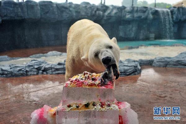 新加坡动物园为北极熊伊努卡庆生