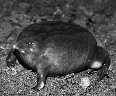3亿年前进化出来的两栖动物的唯一幸存者