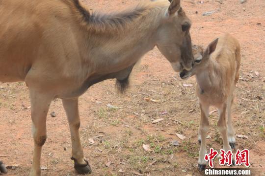 深圳野生动物园大羚羊喜添幼崽
