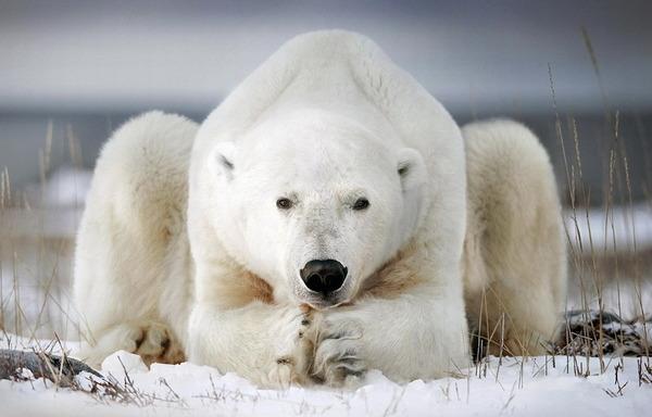 国际北极熊日:呆萌大块头玩转冰雪世界(高清组图)