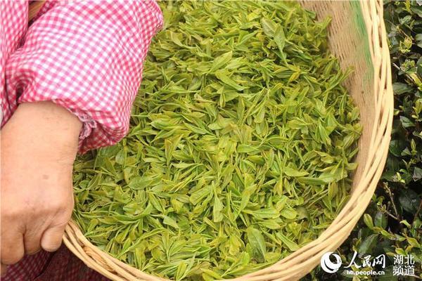 采茶人篓子里装盛着新鲜茶叶 人民网宜昌4月17日电 湖北宜昌,历来盛产名茶,境内五峰采花毛尖,夷陵邓村绿茶、萧氏茶叶享有盛誉。 陆羽《茶经三之造》中说:凡采茶,在二月、三月、四月之间。每年阳历三到五月是采摘春茶的高峰期,成群结队的采茶人到高山茶园采摘茶叶。图为4月17日,采茶人在湖北省宜昌市夷陵区黄花镇背马山茶厂采摘春茶。(刘斐)