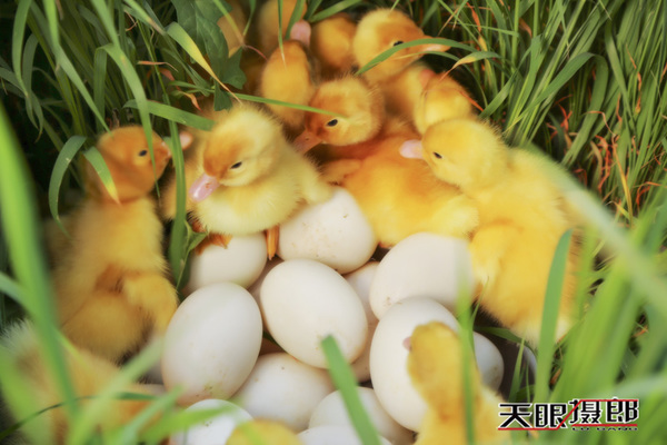 【天眼聚焦】白洋淀鸭场那些超级萌的小鸭子
