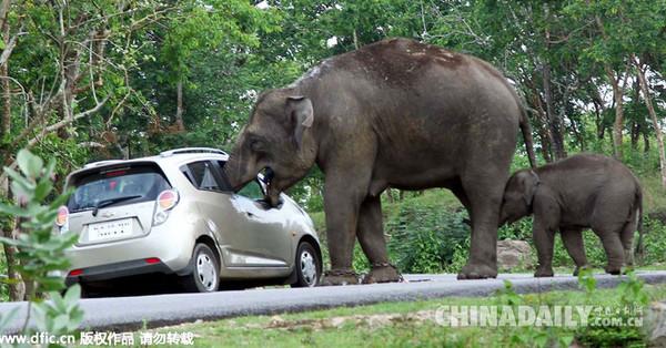 大象将鼻子伸进车内。(图片来源:东方IC) 中国日报网6月2日电(程尔凡),在印度卡纳塔克邦Bandipur国家公园内,一对游客想将大象融入背景自拍时,不料大象却主动走到他们的车旁,将鼻子伸进车内卷走了放在车内的手提包。不仅如此,这头大象还迅速将包内的水果、银行卡和现金等物品吞下,而包内的其他物品则散落一地。