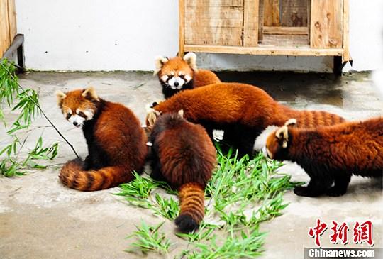 6月10日,六只小熊猫入住济南动物园小熊猫馆,呆萌可爱的模样引游客