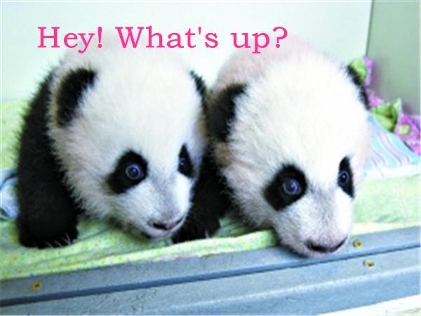 Hey! Whats up? 不好意思,没忍住秀了一下英文,因为我俩可是在美国境内出生并活下来的第一对大熊猫双胞胎,我俩出生时的体重分别是99克和156克。 2013年10月23日是我们猫生中的大日子,那天我们刚好满一百天,也是在那天有了属于自己的名字:美轮和美奂。我俩的征名活动由亚特兰大动物园通过美国广播公司《早安,美国》节目的网上平台向全美发起投票,吸引了5.