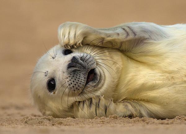 这只可爱的灰海豹正在海滩上晒太阳,是诺福克野生动物信托会摄影大赛的入围作品之一。(网页截图) 国际在线专稿:据英国《每日邮报》7月9日报道,为了庆祝诺福克野生动物信托基金会(Norfolk Wildlife Trust)成立90周年,该机构举行野生动物摄影大赛,部分获奖作品日前曝光。   在此次摄影大赛中,组织方从350幅入围照片中挑选出了获奖作品。获得此次大赛一等奖的作品是保罗理查德(Paul Richards)在克莱沼泽保护区拍摄到的文须雀照片。其他照片还有在鲜花上采蜜的牛尾蜂、在树桩上栖息的翠鸟以