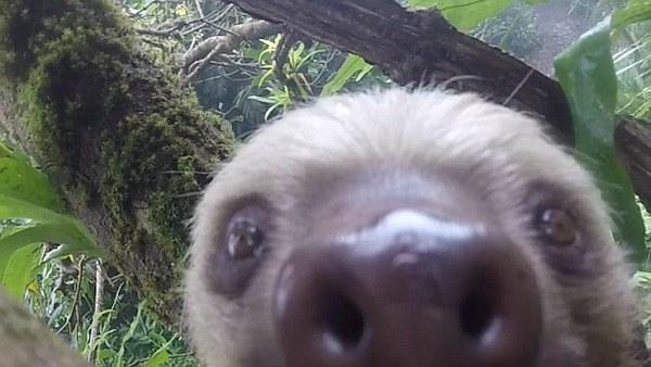 树懒熊也被传染了自拍病