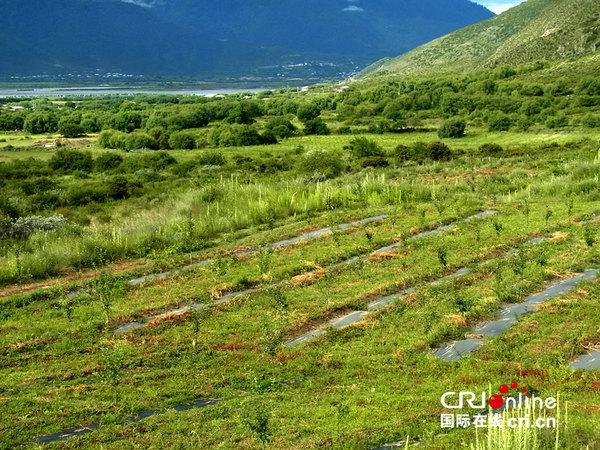 通麦村苹果树与日本豌豆间种的田地.摄影:殷帆