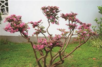 这种植物名叫红花檵木树
