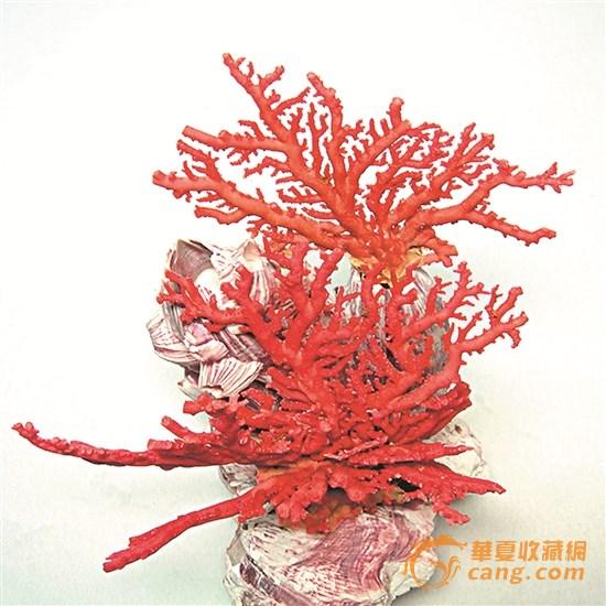 珊瑚摆件 一树红花照碧海,一团火焰出水来!这句流行于上世纪70年代的歌曲唱的正是珊瑚,这首《珊瑚颂》也唱出了珊瑚的红火、气势和千娇百媚。 珊瑚被大家熟知基本源于它是海洋生物,但其作为贵重珠宝出现在市场上,并没有引起人们的关注。在西方,珊瑚与珍珠、琥珀并列为三大有机宝石;在东方,珊瑚又被列为佛教七宝之一。红珊瑚本身的价值很高,且产量极其稀少,是国家保护的资源之一。 记者了解到,现在市场上升值最快的珠宝,除了众所周知的翡翠、钻石,就是珊瑚了。最近10年,红珊瑚的价格涨幅每年都在30%。 稀缺性:生长周