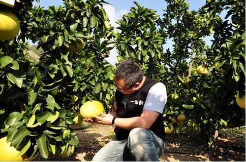 此外,柚树种植还要面对旱灾,涝灾等等.