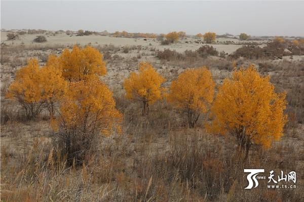 塔克拉玛干旅游风景区的沙漠胡杨林中,仿佛进入神话般的仙境.茂
