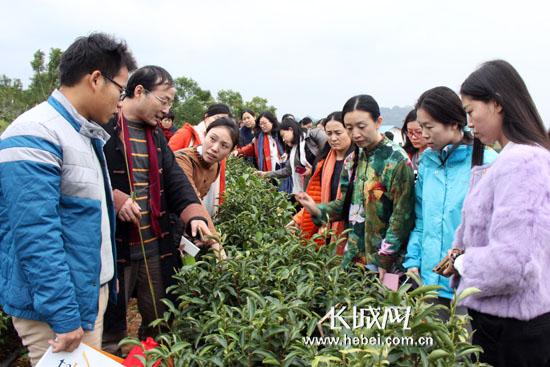 """河北茶人参观德高信三山有机茶园""""可可茶""""种植基地。"""