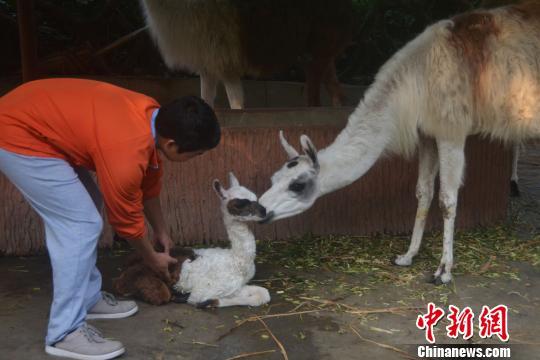 深圳野生动物园羊驼家族新年添丁