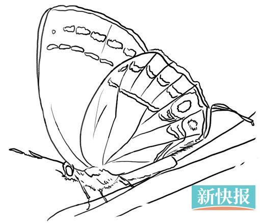 这是陈氏何华灰蝶一生的几种形态,发现者为陈锡昌老师,因此冠以他的姓氏,图中展示了从卵到幼虫到蛹再到成虫的过程。 这种蝴蝶喜欢访花、吸水,夏天的时候,燕凤蝶喜欢聚集在溪流边吸水,这样做除了能降温外,还可以获取水中的无机盐等物质,用于生命活动。 中国昆虫学会蝴蝶分会理事、蝴蝶专家 陈锡昌 平日里,我们大多数人只是看到蝴蝶飞来飞去,品评一下它们翅膀的颜色以及耀目的斑点,对于它们的生活习性知之甚少。其实,经过蝴蝶专家的一番讲述,才发现原来蝴蝶的趣事这么多,而且它们中的另类也不少 发现者姓氏命名的南岭新