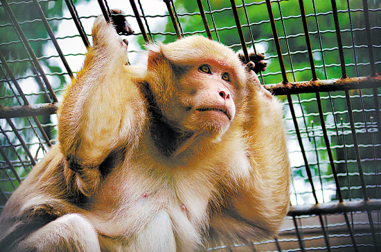 中国猴子种类_那些生活在中国的猴子及珍稀种类