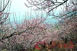 沿着105国道,可领略桃李相间的美景。