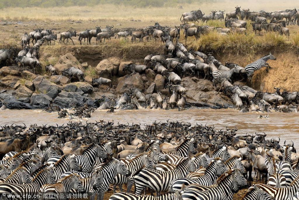 全球最壮观的动物大迁徙