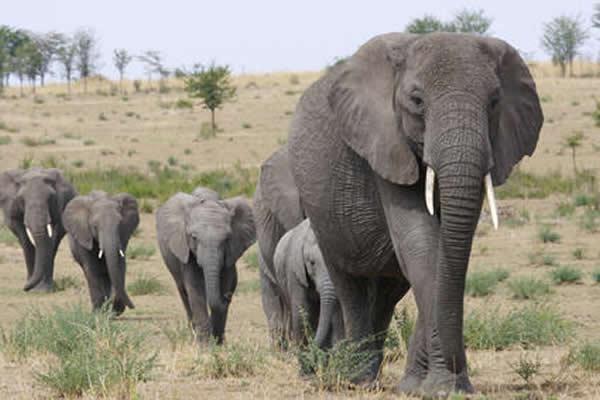 人类 气候/大型非洲象(资料图)...