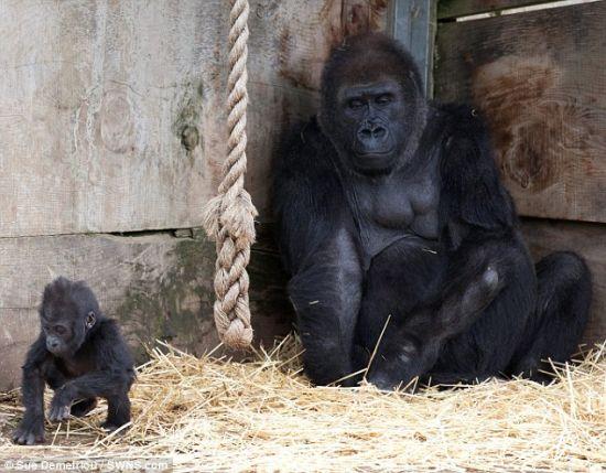 寻找足迹:从布里斯托尔动物园出生以来,只有7个月大的大猩猩宝宝库克