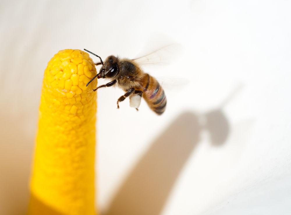 致命 杀人蜂 成美国隐患 已杀死8人