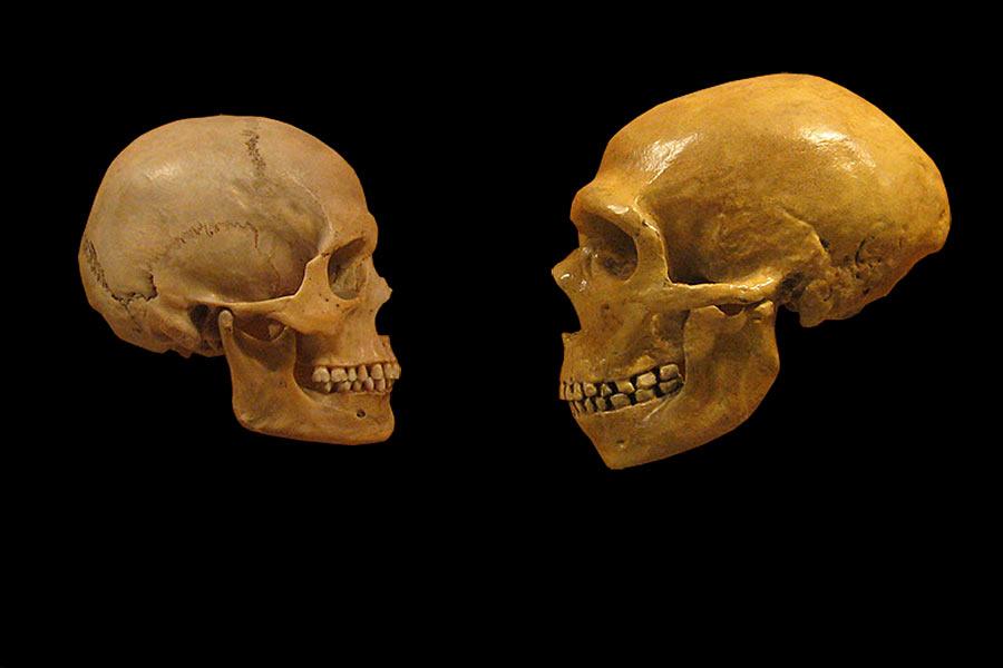 另一些科学家认为,尼安德特人的灭绝是因为他们没有人类拥有的大脑和制作复杂精密工具的能力,因此在争夺食物和其它生存资源的斗争中失败了。