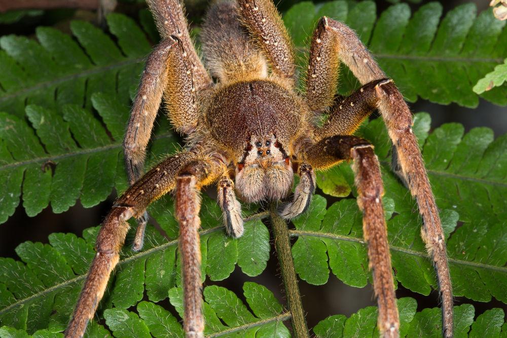 """巴西漫游蜘蛛正在寻找猎物 凤凰科技讯 北京时间2014年4月9日消息,美国生活科学网站报道,蜘蛛组成了蛛形纲动物的绝大部分,地球上大约生活着40000多个不同的蜘蛛物种,其中有十几个剧毒物种,它们的蛰咬足以杀死一名人类。以下盘点了世界上最致命的三个蜘蛛物种。 巴西漫游蜘蛛 巴西漫游蜘蛛,或者称香蕉蜘蛛,一直被""""吉尼斯世界纪录""""列为世界上毒性最强的蜘蛛。它很应景的属于巴西游走蛛(Phoneutria)类属,后者在希腊语里意为""""凶手""""。这种棕色蜘蛛常见于南美,"""