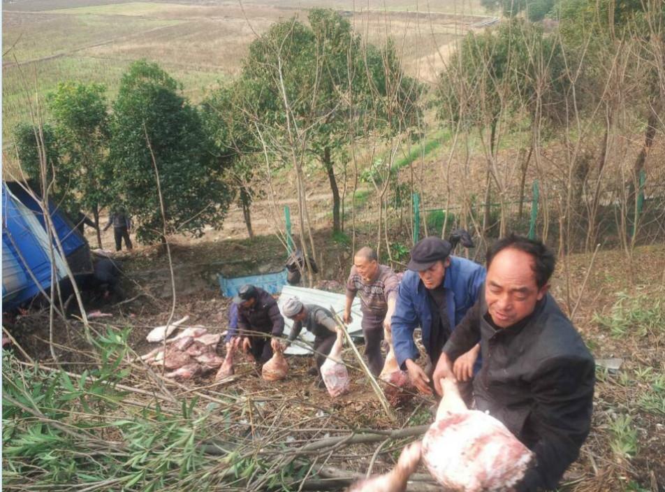 货车侧翻猪肉散落 附近村民排排站帮助司机捡猪肉。