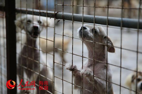 """""""8月6日下午,海南省小动物保护协会流浪狗收容基地工作人员谢龙新对"""