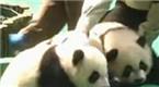 全球唯一大熊猫三胞胎名字公布:萌帅酷