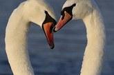天鹅之爱心。