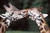 互相爱抚的长颈鹿。