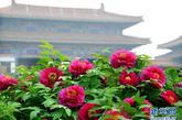 """在洛阳中国国花园内,一片""""洛阳红""""牡丹在古建筑群的衬映下,别有一番韵味(4月10日摄)。新华社记者 王颂 摄"""