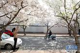 4月9日,在山东潍坊市高新区广通路上,市民在盛开的樱花前拍照。时值初春,潍坊街头怒放的樱花似雪如云,吸引众多市民驻足观赏。 新华社发(孙树宝 摄)