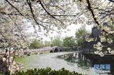 4月8日在山东青州市范公亭公园拍摄的盛开的樱花。春暖花开时节,青州市范公亭公园里樱花、玉兰相继开放,吸引众多游客前来踏春赏花,享受美好春光。 新华社发(王继林 摄)