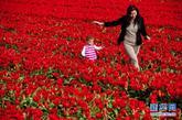 4月8日,一名女士带着孩子在荷兰西部小镇丽瑟附近的郁金香花田里嬉戏。近日,荷兰迎来了郁金香盛开的时节。在西部小镇丽瑟附近的郁金香花田里,成垄的郁金香陆续绽放,构成一幅幅五颜六色的春日美图。新华社发(罗宾·于特雷西特摄)