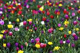 木鞋郁金香农场鲜花盛开。