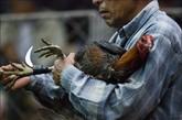 主人在给公鸡戴上装备。这种类似尖刀的比赛装备有的是由塑料制成的,有的是用金属制成的,非常锋利。