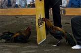 赛前的公鸡必须分开。